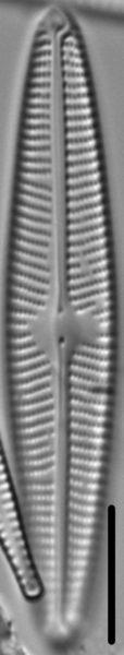Navicula eidrigiana LM4