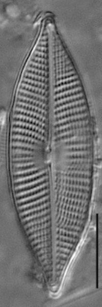 Navicula elsoniana LM5