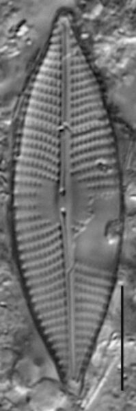 Navicula elsoniana LM4