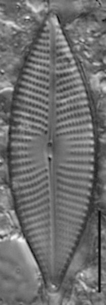 Navicula elsoniana LM3
