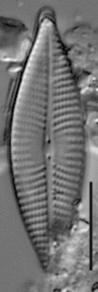 Navicula elsoniana LM2