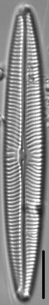 Navicula margalithii LM6