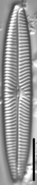 Navicula margalithii LM4