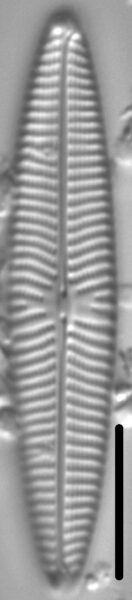 Navicula margalithii LM2