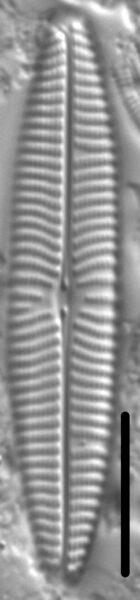 Navicula margalithii LM1