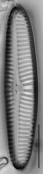 Navicula perotii LM4