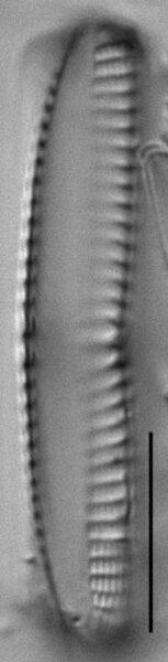 Navicula perotii LM2