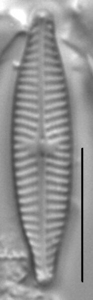 Navicula trilatera LM2