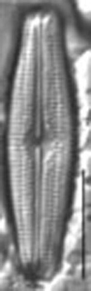 Neidiopsis hamiltonii LM6