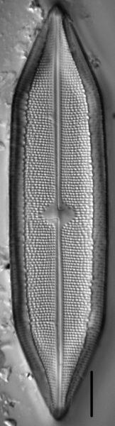 Neidium sacoense LM1