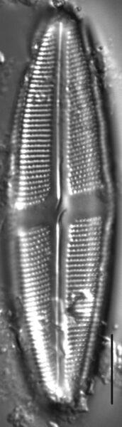 Neidium bobmarshallensis LM5