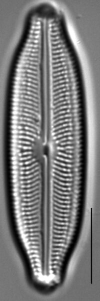 Neidiopsis wulffii LM1