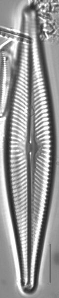 Navicula flatheadensis LM6