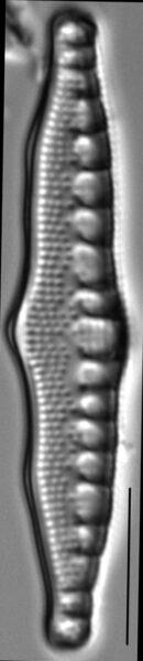 Nitzschia sinuata LM4