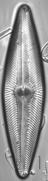Navicula ludloviana LM1
