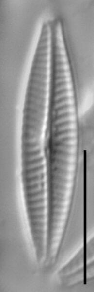 Navicula notha LM4