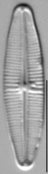 Achnanthidium alpestre LM1
