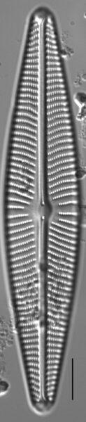 Navicula peregrina LM5
