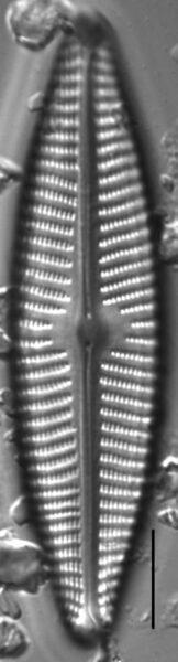 Navicula peregrina LM1