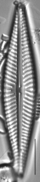 Navicula pseudolanceolata LM4