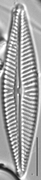 Navicula pseudolanceolata LM2