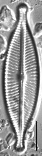 Navicula rhynchotella LM2