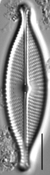 Navicula rhynchotella LM7