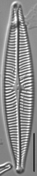 Navicula schweigeri LM5