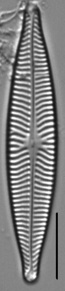 Navicula schweigeri LM4