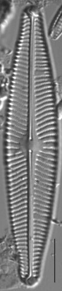 Navicula slesvicensis LM7