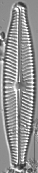 Navicula slesvicensis LM6