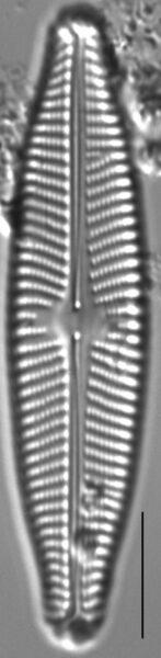 Navicula slesvicensis LM5