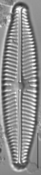 Navicula slesvicensis LM4