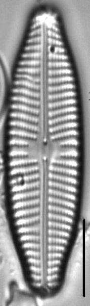 Navicula slesvicensis LM1