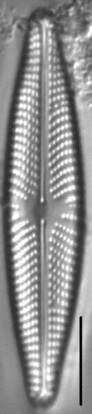 Navicula streckerae LM5