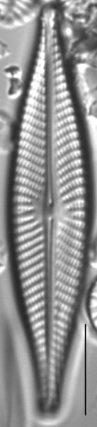 Navicula subconcentrica LM3