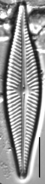 Navicula subconcentrica LM2