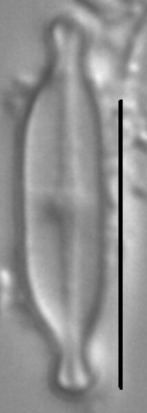 Nupela tenuicephala LM4