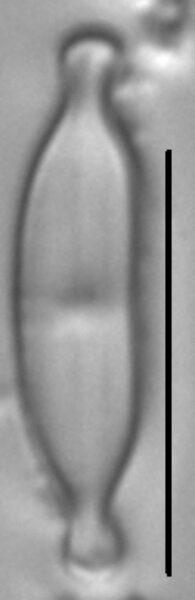 Nupela tenuicephala LM2