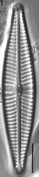 Navicula vaneei LM7