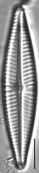 Navicula vaneei LM5