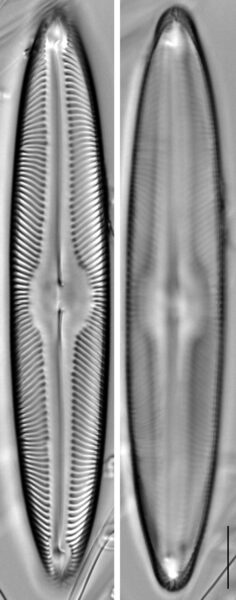 Pinnularia turfosiphila LM2