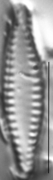 Pseudostaurosira elliptica LM5