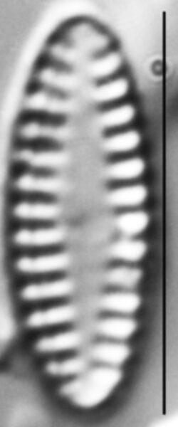Pseudostaurosira elliptica LM2