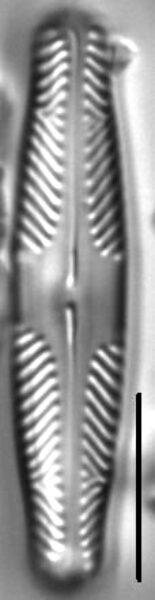 Pinnularia divergentissima LM3