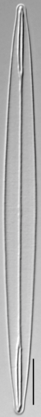 Amphipleura pellucida LM2