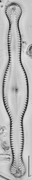 Pinnularia formica LM2