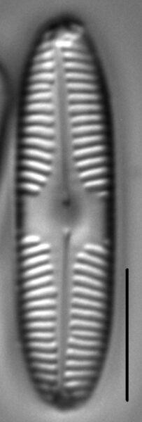 Pinnularia brebissonii LM2