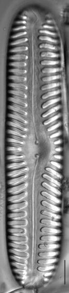 Pinnularia lata LM6