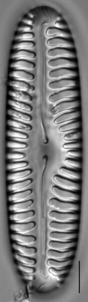 Pinnularia lata LM10
